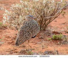 "A ""Korhaan"" in bird in the Northern Cape, South Africa."