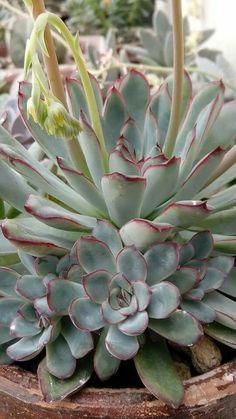 Succulents For Sale, Growing Succulents, Cacti And Succulents, Planting Succulents, Echeveria, Cactus Planta, Cactus Y Suculentas, Succulent Gardening, Succulent Terrarium