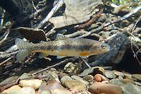Westslope Cutthroat Trout | Engbretson Underwater Photography
