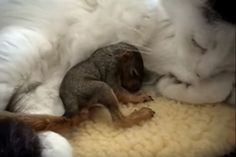 Katze kümmert sich liebevoll um ein kleines Eichhörnchen