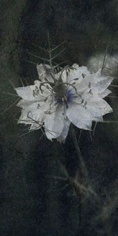 "Flowers in Neutral Moment-2015 "" Nigella ( Devil-in-a-bush ) "" Archival pigment print Printed on cotton rag fine art paper Photo by Soichi Oshika"