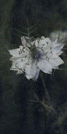 "Flowers in Neutral Moment-2015 "" Nigella ( Devil-in-a-bush ) "" Archival pigment print Printed on cotton rag fine art paper Photo by Soichi Oshika"