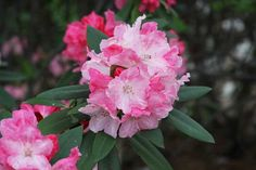 Thank you for taking a look at one of our several hundred Hybrid Rhododendrons we have for sale on Etsy and our website! At RhododendronsDirect.com, all we do is Rhododendrons!     Product Description    Bloom Color:  Pink    Bloom Season:   Mid Season    Plant Height(potential in 10 years): Four Feet    Hardy to: -10    Rhododendron of the Year:  2012 South Central, 2011 South East      Container Size/Age:  Two Gallon Plant -  These rhododendrons are typically rooting into a two gallon…