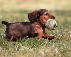 They love their tennis balls:) My dachshunds think they are the best...