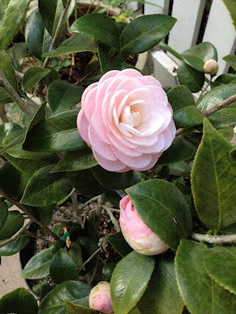 """Children of the Corm: A Charleston Garden Blog: Camellia """"Pink Perfection"""""""