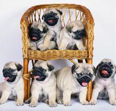 pugs on a wicker chair