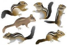 Chipmunk #vector #animal #wild #collection #mammal #herbivore #zoo #america #american #chipmunk