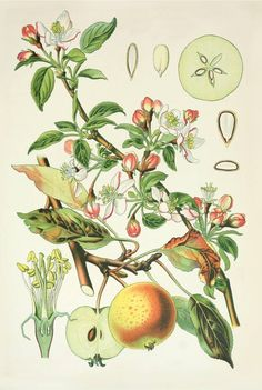 Vintage botanicals postcards, illustrations, nature