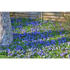 Periwinkle Plant, Eva Garden, Colorful Garden, Plant Care, Green Grass, New Homes, Herbs, Colours, Landscape