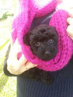 Poodle puppies ... how to train your #poodle http://dogtrainingvideos...