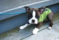 boston terrier boston terrier