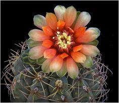 Cactus (Gymnocalycium baldianum)