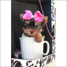 Adorable Tiny Yorkie very loving!  #teacuppuppiesstore #954-353-7864 #Teacuppuppiesstore.com