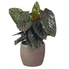 Calathea (Calathea sanderiana 'Ornata') D 19 H 65 cm Calathea, Planter Pots