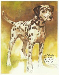 Dalmatian Dalmatiner by Rien Poortvliet 1983 colour dog print