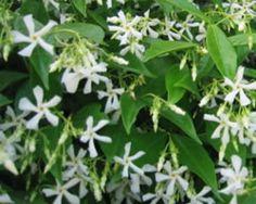 [甘い香りの花々 ]  近所にジャスミンの生け垣のお宅があって、前を通るととってもいい香り。5月だったかな?