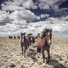 Horses galloping on Estancia Los Pozos, Patagonia, Argentina
