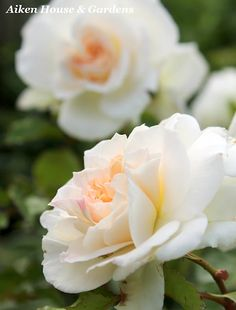 ~Petticoat Fairy Tale Rose