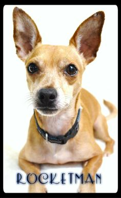 Meet RocketMan a Petfinder adoptable Dachshund Dog | Simi Valley, CA | ~~~ Weight: 14 pounds~~~ Approximate Birth date: 02/28/07 ~~~ Please ALWAYS check our website directly to see if this dog is still available.