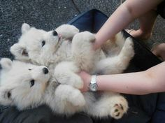 Samoyed, a good hypoallergenic dog and they look like little polar bears