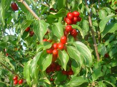 Greek Flowers, Tree Forest, Flowering Trees, Greek Recipes, Cherry, Stuffed Peppers, Fruit, Vegetables, Health