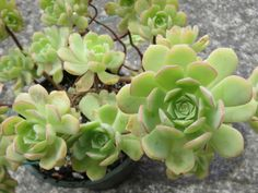 Aeonium castello-paivae is a succulent plant with rosettes of green leaves with pink margins when grown in full sun, forming compact clumps..