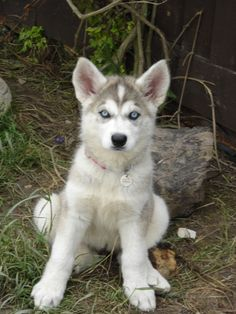 Northern Inuit pup...want!!