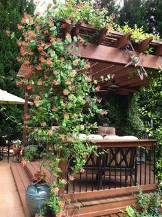 18 piante rampicanti per il pergolato   Guida Giardino