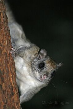 Flying Squirrel, Project 4, Rodents, Chipmunks, Squirrels, Pet Birds, Mammals, Ephemera, Animals