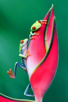 Frog. Www.dogsnaturalwater.com Love the red eyed tree frog.