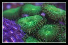 Bright Green Palys 10+ Polyps - AQuarium Depot