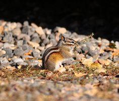 Chipmunk by Rockyrosa, via Flickr