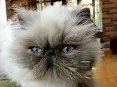 Oh, and here you see a standard, fluffy kitty... | 22 Reasons Why You'll Want Persian Cats On Your Apocalypse Team