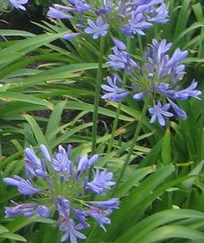 Common names: Lily of the Nile, African lily Botanical names: Agapanthus praecox General information: Tender evergreen perennial. Works well as a border. Originated in Africa. Denton County, African Lily, Lily Garden, Texas Gardening, Common Names, Outside Living, Backyard, Patio