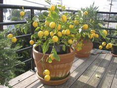 Limão Siciliano  perfeito para vaso. É preciso tomar o cuidado com a área disponível, em média uma área de 2 m² para cada fruteira em vaso. Use argila expandida no fundo, e uma mistura de terra vegetal, humus e areia até a metade do vaso. vaso preferencialmente 80 x 85.                                                                                                                                                                                 Mais