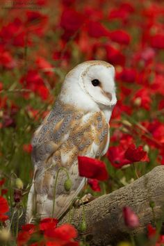 Owl in a field of poppies