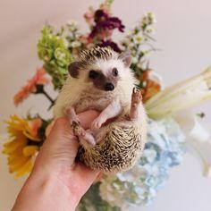 Calico The Hedgehog