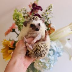 Calico The Hedgehog oh my goodness ....sooo cute