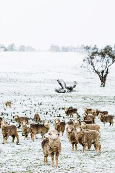 Snow Sheep Photographic Print