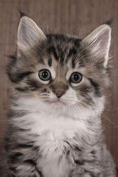 ♔ Kitten