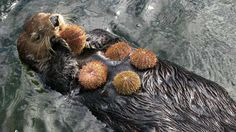 Thanks to the sea otter's diet of sea urchins, kelp forest ecosystems are able to remain in a delicate balance. Live Animals, Animals And Pets, Baby Animals, Funny Animals, Otter Love, Kelp Forest, Baby Otters, Baby Sloth, Mundo Animal