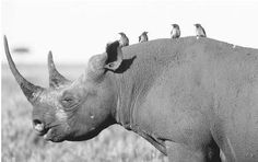INTRAKINGDOM SYMBIOTIC RELATIONSHIPS CAN EXIST BETWEEN TWO VERY DIFFERENT TYPES OF ANIMAL. THE OXPECKER, OR TICKBIRD, FEEDS OFF THE TICKS, FLIES, AND MAGGOTS THAT CLING TO THE HIDE OF THE AFRICAN BLACK RHINOCEROS. THIS ODDLY MATCHED PAIR OFTEN CAN BE SEEN ON THE AFRICAN SAVANNAS. (© Joe McDonald/Corbis. Reproduced by permission.)