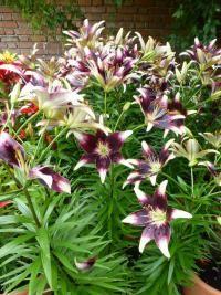 Lilium x hybridum      'Nettys Pride'  Lily plant