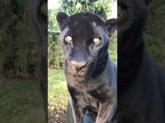 The Black Jaguar White Tiger Foundation - Achi vs The Box last night - YouTube