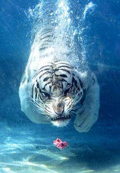 RosamariaGFrangini   White Tiger under water
