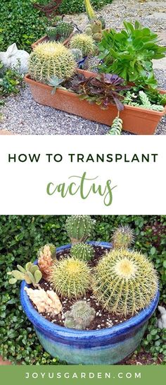 I've always been fascinated with cactus and was tickled pink to discover that they're all the rage in the fashion world, and everywhere else, these days. Transplanting and working with cactus can be a challenge (no one wants their paws all full of spines) and I have a couple of secret weapons to share with you. #cactus #cacti #cactusplant #plant #planting #plantingtips #gardening #gardeningtips #garden #gardener #beginnergardener #beginnergardening #howtogarden