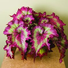 beautiful Begonia,begonia seeds bonsai flower seeds flowers potted begonia plants for garden balcony Coleus seeds Shade Plants, Potted Plants, Garden Plants, Bonsai Garden, Hosta Plants, Sun Perennials, Begonia, Container Plants, Container Gardening