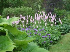 Persicaria bistorta superbum | Lewis Cottage Plants. Will also thrive in semi shade. Plants in this picture from fore- to background: ornamental rhubarb, perenial cornflower, persicaria, geranium species.