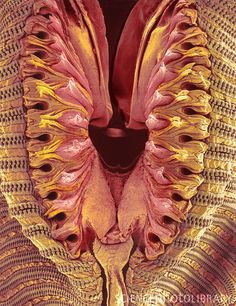 Coloured scanning electron micrograph (SEM) of the tip of the proboscis (snout) of an unidentified fly (order Diptera). Science Photos, Science Art, Science And Nature, Life Science, Microscope Pictures, Scanning Electron Microscope, Macro Pictures, Microscopic Photography, Micro Photography