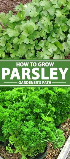 Are you looking for the perfect herb that can be used as a garnish and in recipes? Look no further than parsley! Greenhouse Farming, Greenhouse Plants, Garden Plants, Herb Garden Kit, Potager Garden, Parsley Plant, Types Of Herbs, Growing Herbs, Parsley Growing